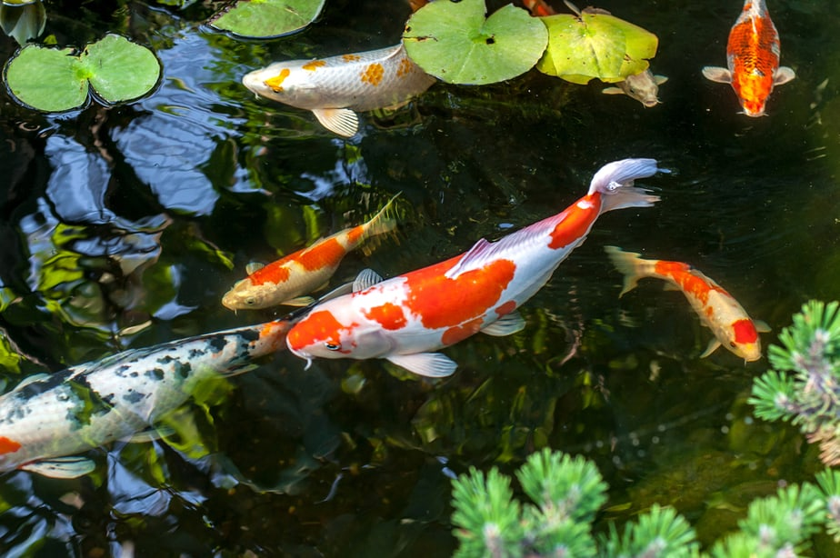 Why your Koi Pond never works out the way you planned?